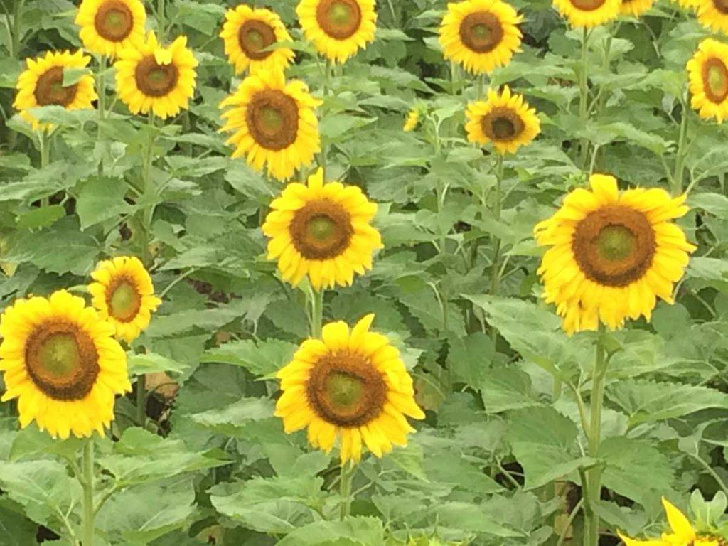 ひまわりの花1