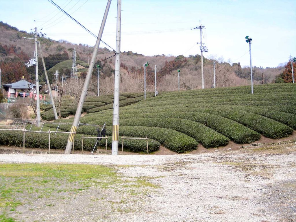 銭司聖天近くの茶畑